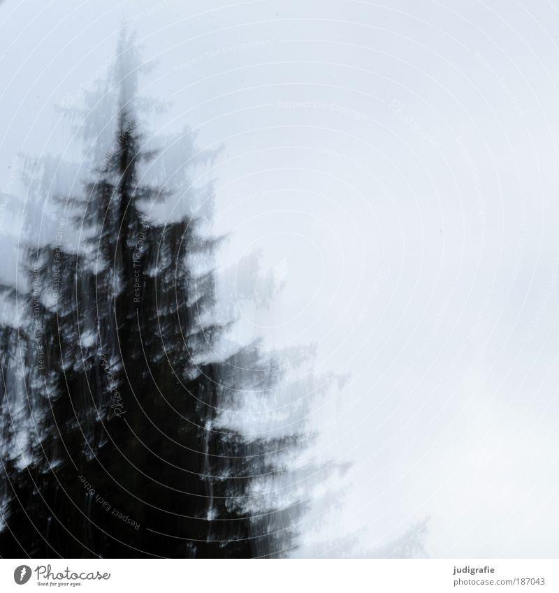 Nach oben Umwelt Natur Pflanze Baum Wachstum dunkel Stimmung Bewegung Nadelbaum Weihnachtsbaum Tanne Farbfoto Außenaufnahme Tag
