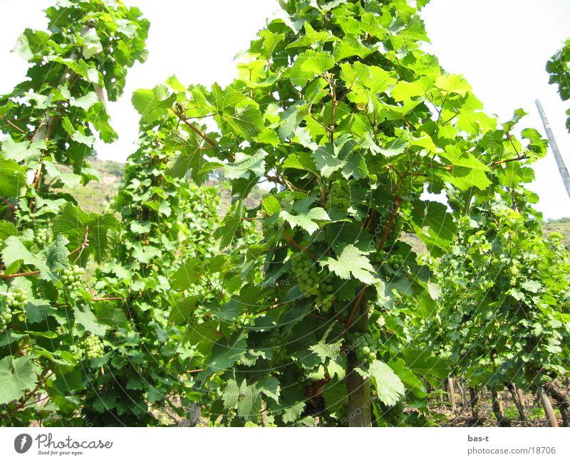 Weintrauben am Hang in der Sonne Sommer Berghang