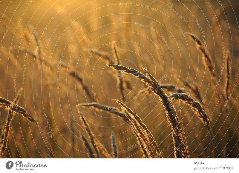 Ocker Natur Pflanze ruhig Wiese Gras Wärme Stimmung braun Feld Umwelt gold Wachstum natürlich Idylle leuchten Grasland