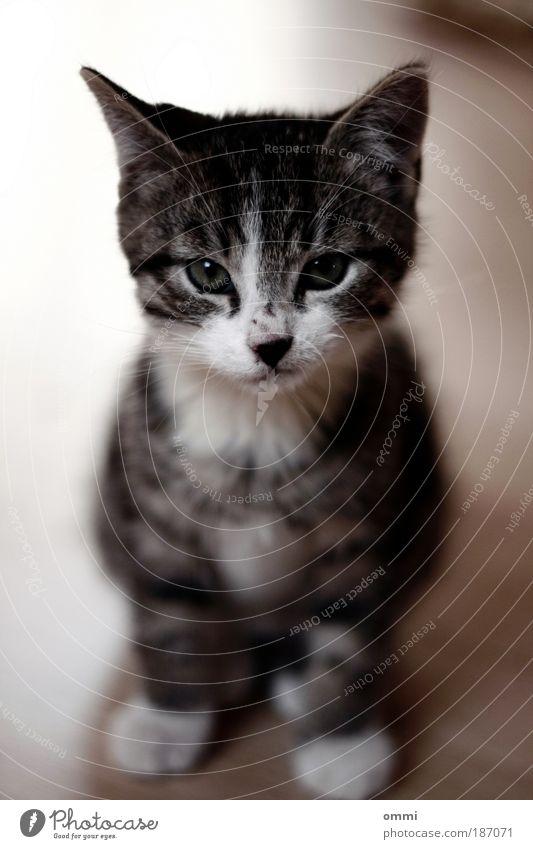 Staring-Contest Tier Haustier Katze Tiergesicht Fell Pfote 1 Tierjunges Blick sitzen schön kuschlig klein niedlich grau weiß Sympathie Tierliebe Katzenbaby