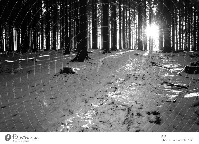 b&w christmas Natur Winter Schnee Baum Wald Erholung Freizeit & Hobby Klima Umwelt dunkel hell kalt Frost Sonne Kiefer Schwarzweißfoto Menschenleer