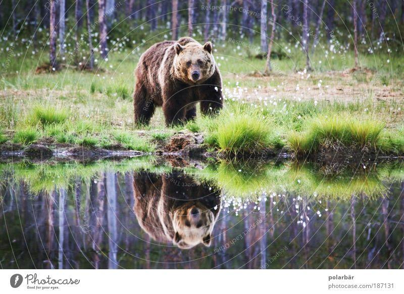 Bärin Valerie Natur Tier Wald See Landschaft braun Kraft Angst Umwelt bedrohlich beobachten wild Fell Neugier stark Wildtier