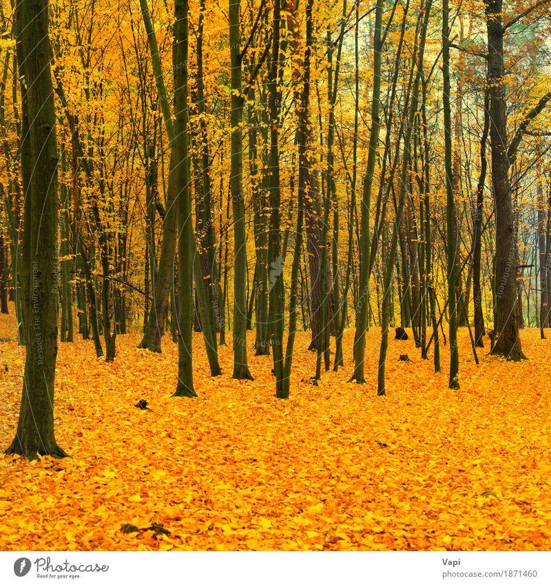 Schöner gefallener Park im Wald Umwelt Natur Landschaft Pflanze Herbst Baum Blatt frisch hell natürlich braun gelb gold grün orange rot schwarz Farbe Ahorn
