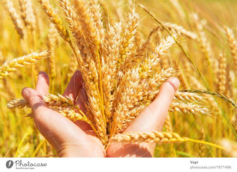 Weizen in den Händen Frau Natur Pflanze Sommer grün Hand Landschaft Erwachsene gelb Herbst Wiese natürlich Feld Wachstum gold Finger