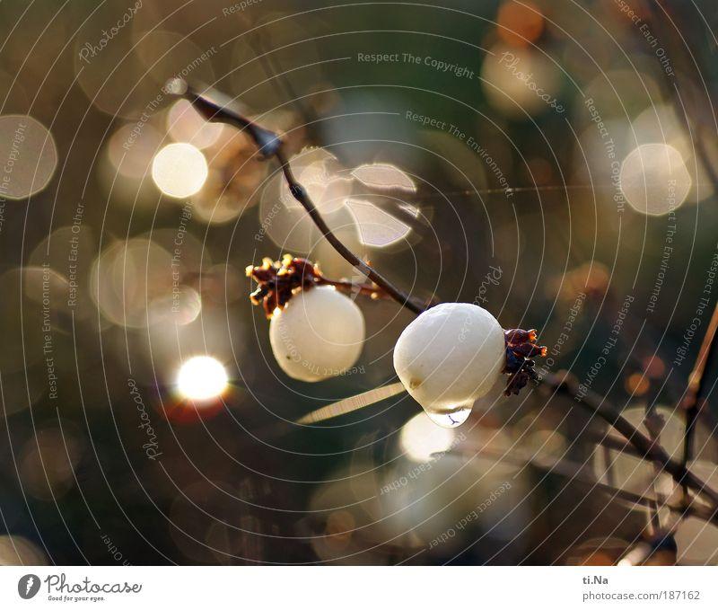 neulich im Garten Umwelt Natur Landschaft Tier Wassertropfen Klima Schönes Wetter Pflanze Sträucher Knallerbse Kugel glänzend hängen Wachstum ästhetisch hell
