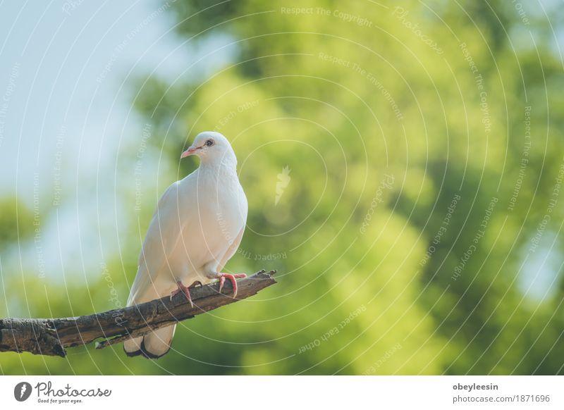 Einzelne weiße Taube auf einer Niederlassung Tier Lifestyle Stil Kunst Vogel Abenteuer Künstler