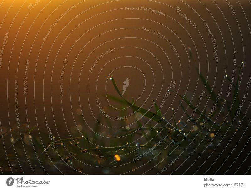 Morgenröte Natur Pflanze ruhig dunkel Wiese Gras Stimmung glänzend Umwelt Wassertropfen Erde Wachstum Tropfen rein natürlich Warmherzigkeit