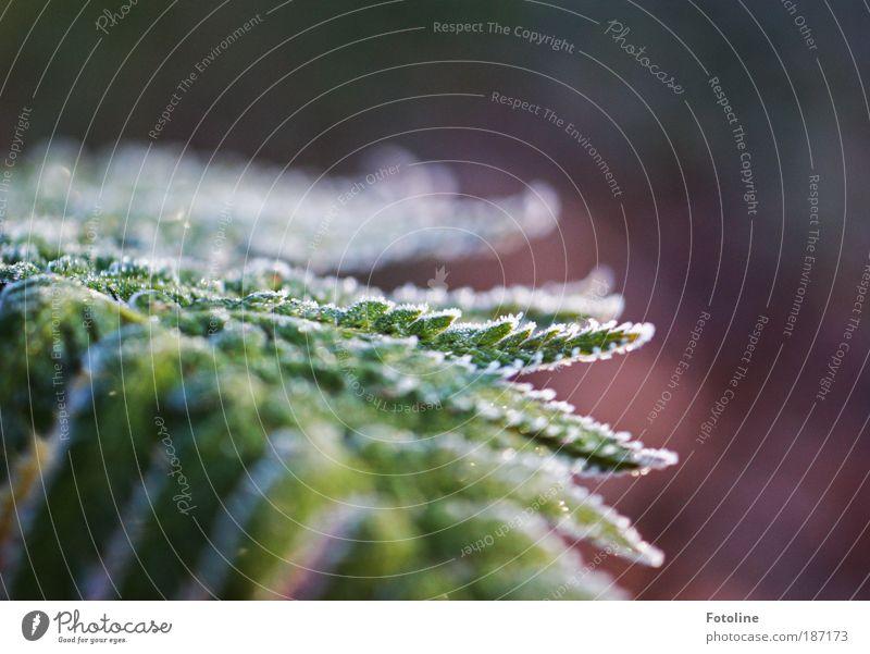 frostiger Farn Umwelt Natur Pflanze Urelemente Wasser Herbst Winter Klima Wetter Schönes Wetter Eis Frost Sträucher Blatt Park Coolness frisch hell kalt schön