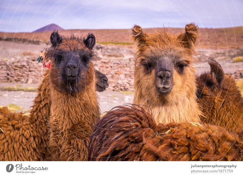 Brown Lama Alpaka Herde exotisch schön Gesicht Menschengruppe Natur Landschaft Tier Wiese Pelzmantel stehen kuschlig lustig niedlich braun schwarz Farbe