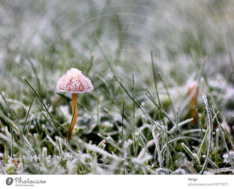 aufgebrezelt | mit Festtagshut Umwelt Natur Pflanze Herbst Eis Frost Gras Garten frieren stehen Wachstum ästhetisch außergewöhnlich schön einzigartig kalt klein