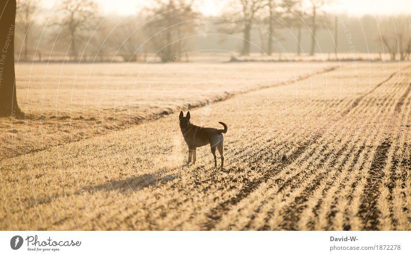 mit dem Hund spazieren gehen draußen Acker Sonnenlicht Sonnenuntergang Sonnenstrahlen gelb beobachten Blick in die Kamera Atem kalt Frost eisig Winter Tier