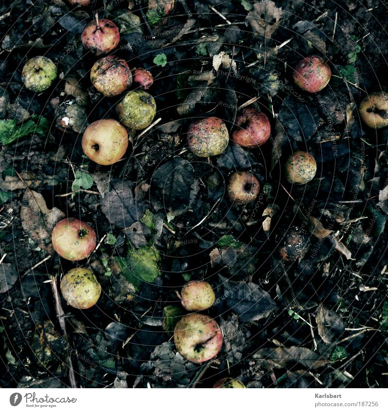 saurer apfel. Natur Blatt Winter Umwelt Leben Herbst Bewegung Garten Erde Frucht Lebensmittel Design Ernährung Lifestyle Wandel & Veränderung Vergänglichkeit