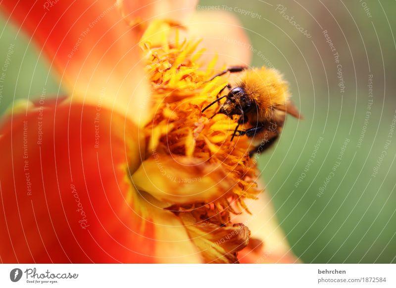 gegen das trübe anleuchten! Natur Pflanze Tier Sommer Schönes Wetter Blume Blatt Blüte Garten Park Wiese Biene Tiergesicht Flügel Hummel 1 Blühend Duft Erholung