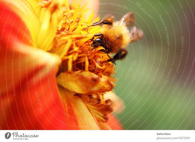 komm bald wieder! Natur Pflanze Tier Sommer Blume Blatt Blüte Garten Park Wiese Wildtier Biene Tiergesicht Flügel Hummel 1 Blühend Duft fliegen Fressen klein