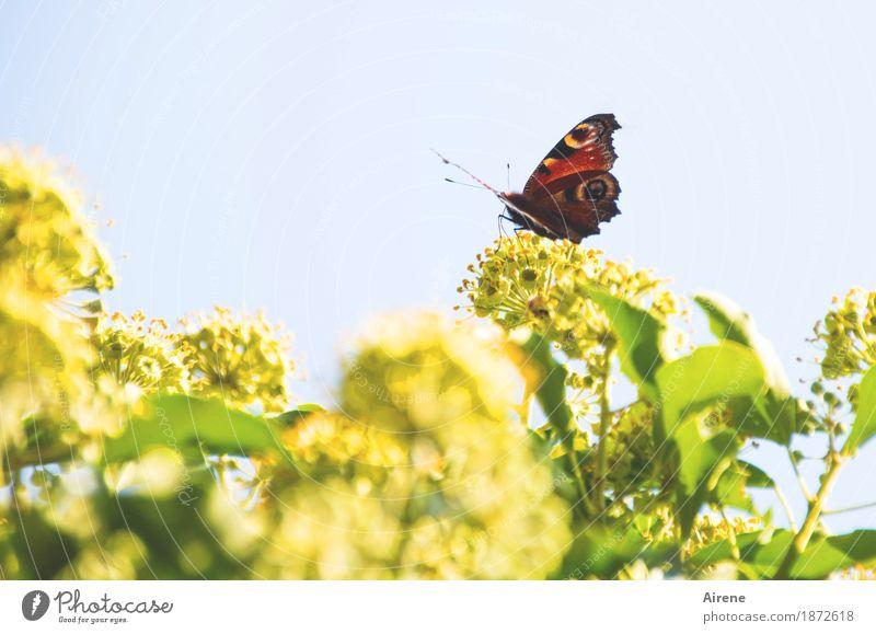 !Trash!2016 | Sommerschlussverkauf Natur Pflanze Tier Efeu Blüte Grünpflanze Schmetterling Tagpfauenauge natürlich positiv gelb grün rot Farbfoto Außenaufnahme