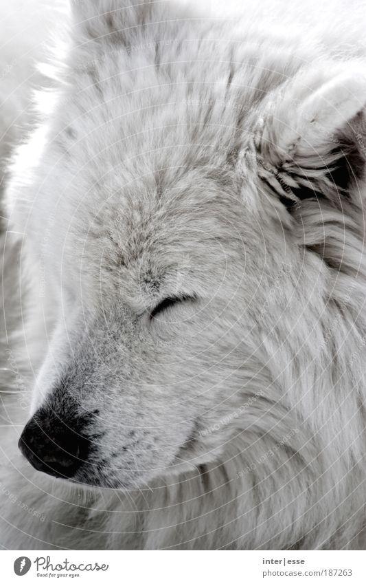 Winterhund weiß ruhig Tier Hund Wärme Zufriedenheit natürlich Pause weich Fell kuschlig Haustier Geborgenheit Tierliebe