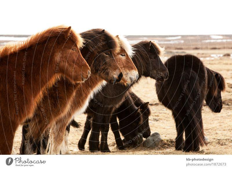 Herd of Icelandic ponies on a meadow Ferien & Urlaub & Reisen Winter Pferd Island Herde
