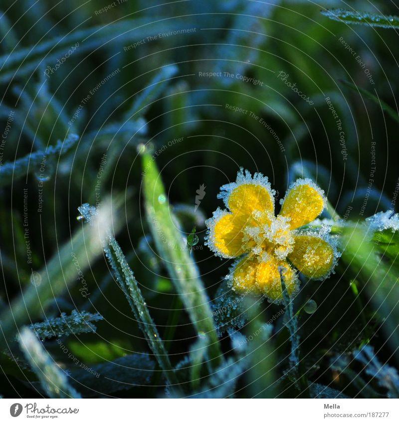 Väterchen Frost Umwelt Natur Pflanze Erde Winter Klima Eis Blume Gras Blüte Wiese Blühend frieren kalt natürlich positiv gelb grün Umweltschutz Farbfoto
