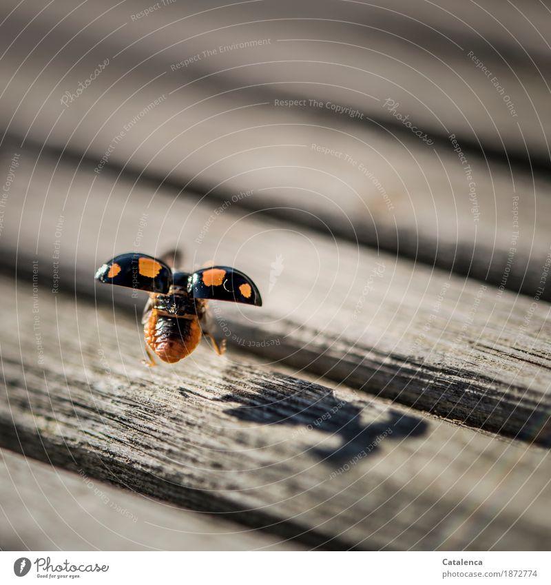 Landung fliegen Tier Herbst Schönes Wetter Terrasse Käfer Marienkäfer 1 Holz Bewegung schön braun orange Glück Schutz Leben Energie nachhaltig Natur