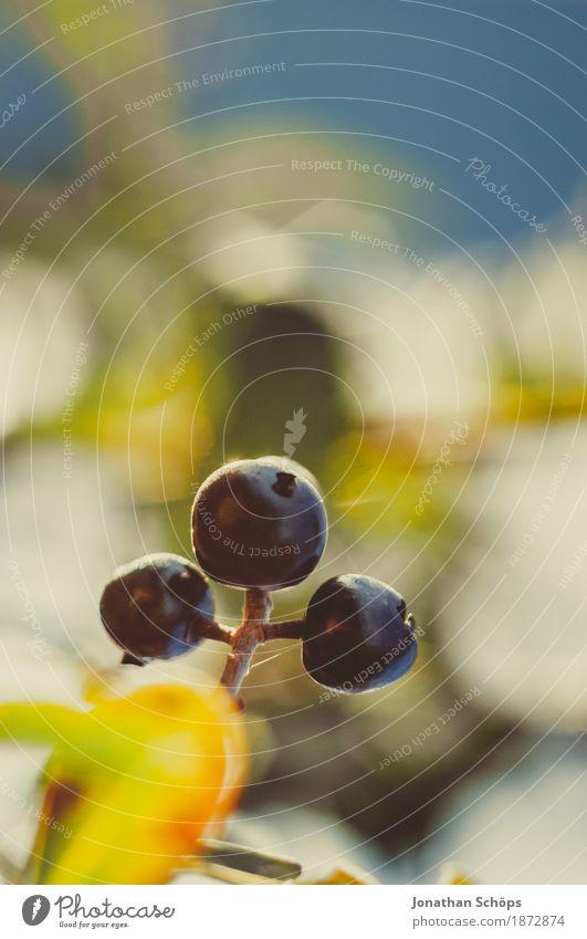 Blüten des Winters VII Umwelt Natur Pflanze Frühlingsgefühle Schwache Tiefenschärfe Beeren Hecke Sträucher Zaun Garten Schrebergarten Außenaufnahme