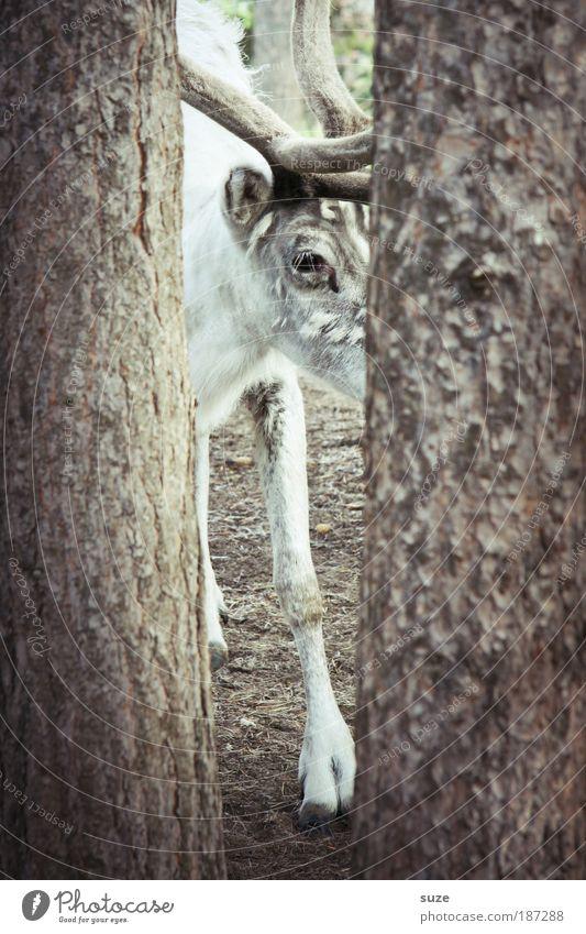 Holzkopf Natur Baum Tier grau braun Wildtier Skandinavien entdecken Baumstamm Überraschung Horn Nutztier Norwegen Baumrinde Hirsche Finnland