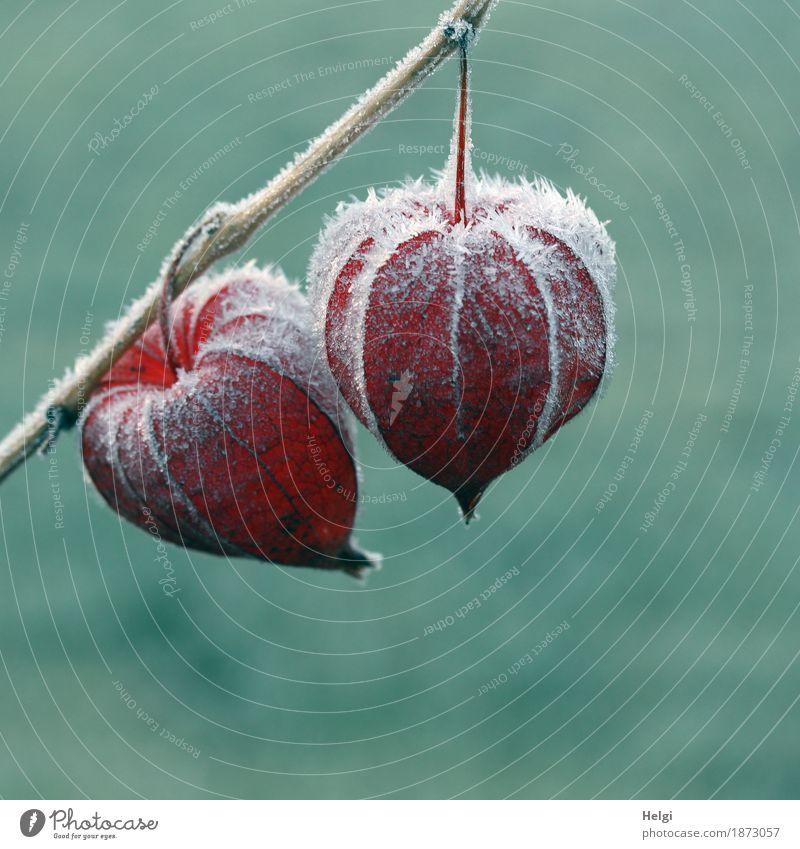 gefroren... Umwelt Natur Pflanze Winter Eis Frost Physalis Lampionblume Fruchtstand Garten alt frieren hängen dehydrieren ästhetisch außergewöhnlich kalt