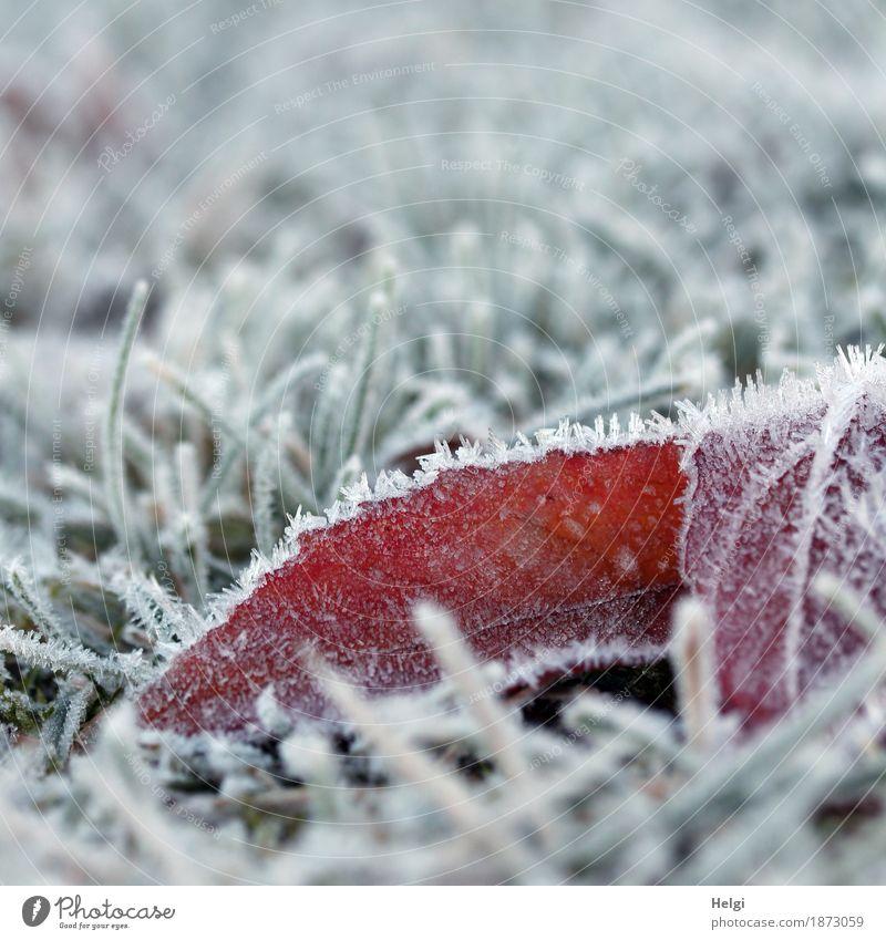 einfach nur kalt ... Umwelt Natur Pflanze Winter Eis Frost Gras Blüte Garten frieren liegen authentisch außergewöhnlich klein natürlich grau grün rot weiß ruhig