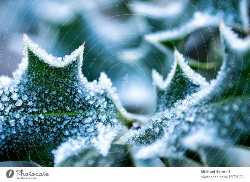 eisstachelig Umwelt Natur Pflanze Eis Frost Sträucher Blatt Grünpflanze Stechpalme Garten kalt grün weiß Schmerz gefährlich Klima Farbfoto Nahaufnahme