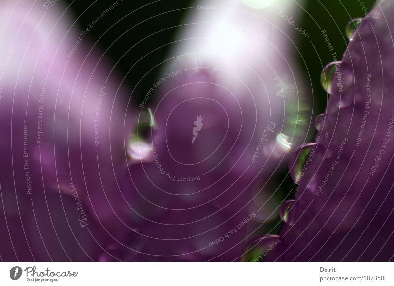 Tröpfchen-Duo Umwelt Natur Wasser Herbst schlechtes Wetter Unwetter Regen Pflanze Blume Blüte Blühend Duft glänzend verblüht Wachstum weinen Flüssigkeit hell