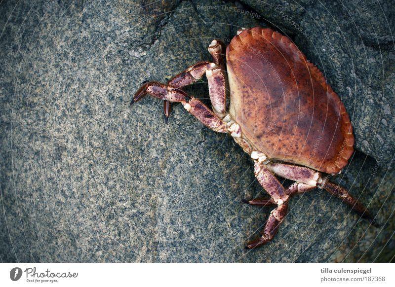 Pozwicker Meeresfrüchte Ferien & Urlaub & Reisen Strand Umwelt Natur Küste Wildtier Krabbe Krebstier 1 Tier Stein warten authentisch kalt natürlich Originalität