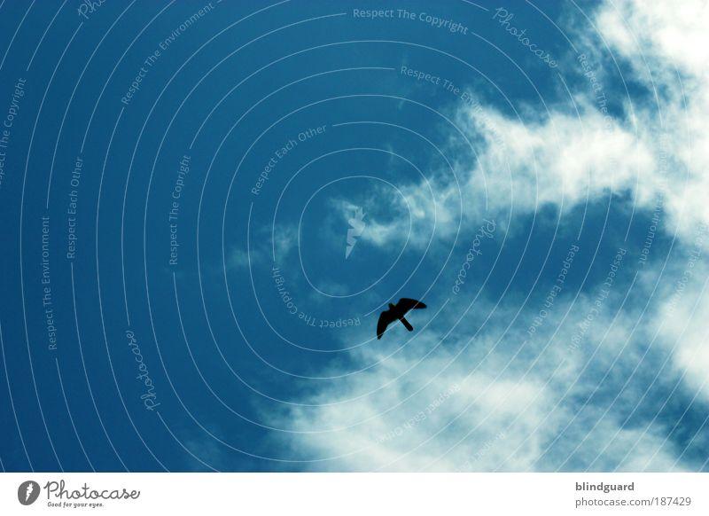 Owner Of A Lonely Heart Natur Himmel weiß blau Sommer schwarz Wolken Tier Freiheit Luft Vogel Umwelt fliegen frei Wildtier Jagd