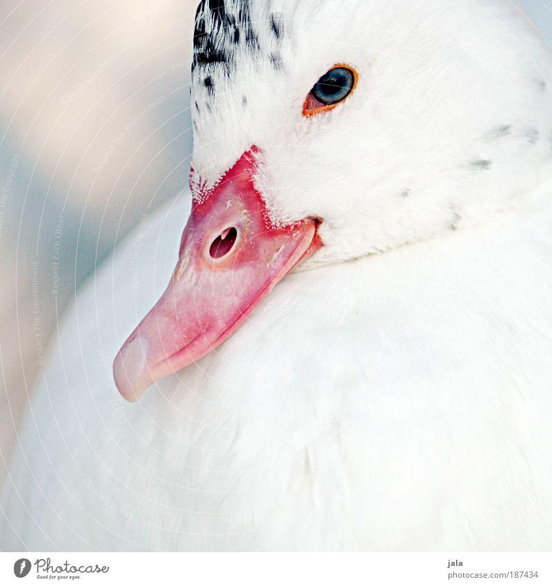 Lady. weiß schön Tier Wildtier Flügel Feder Tiergesicht Zoo Ente Schnabel Bildausschnitt Anschnitt Vogel Streichelzoo Entenschnabel