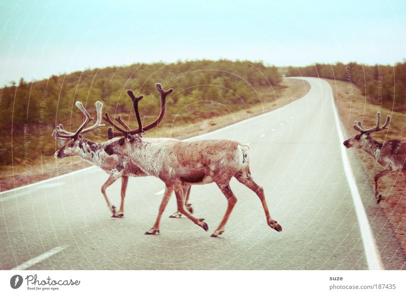 Die Gefährten Ausflug Umwelt Natur Landschaft Pflanze Tier Erde Klima Wiese Hügel Straße Wege & Pfade Nutztier Wildtier 3 Tiergruppe Herde laufen authentisch