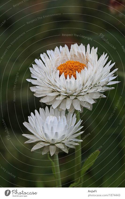 Strohblumen Natur Pflanze Sommer Blume Blüte Wildpflanze Garten ästhetisch elegant Freundlichkeit frisch nah gelb grün weiß Fröhlichkeit schön Reinlichkeit