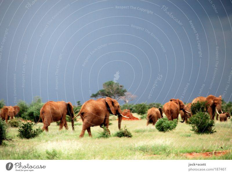 Landstreicher, Herde von Elefanten Safari Gewitterwolken Unwetter exotisch Savanne Kenia Wildtier rennen Gefühle Einigkeit Angst Nervosität tropisch Flucht