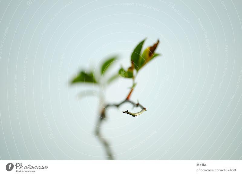 Heckenroseneinsamkeit Natur Himmel Pflanze ruhig Blatt Einsamkeit grau Stimmung Umwelt Rose Wachstum Romantik Spitze lang Wildrosen Dorn
