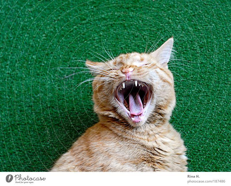 Fauch...... oder gääähn ? grün Katze Tier weich bedrohlich Müdigkeit Aggression Zunge Kopf Tierliebe gähnen Kunstrasen Zähne zeigen