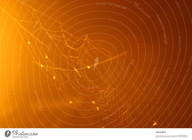 spinnengewebt schwarz gelb Eis glänzend gold Wachstum Frost leuchten Tau exotisch Spinne Stolz Spinnennetz Netz
