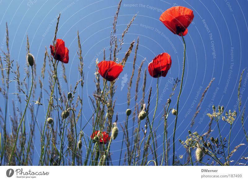 die allerletzten Mohnblumen 2009 Natur schön Himmel Sonne Blume blau Pflanze rot Sommer Ferien & Urlaub & Reisen Wiese Gras Sand Landschaft Perspektive