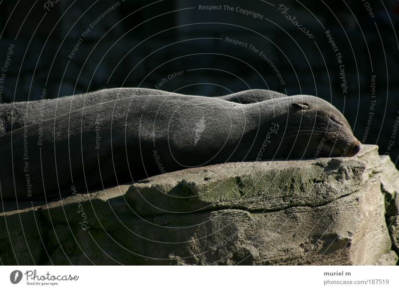 2 Schläfer schwarz Tier grau träumen Stein Zufriedenheit Tierpaar schlafen Tiergesicht Fell Müdigkeit niedlich genießen Langeweile Zusammenhalt Robben