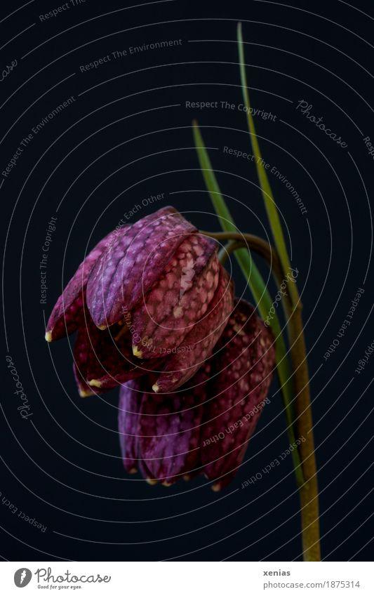 Schachbrettblume vor Schwarz Frühling Blume Blatt Blüte grün violett schwarz purple black flower checkered lily Farbfoto Studioaufnahme Nahaufnahme