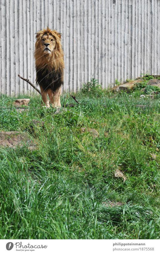 Panthera Leo Natur Sommer Schönes Wetter Tier Wildtier Zoo 1 Ehre Tapferkeit Kraft Willensstärke Abenteuer elegant Löwe Savanne Farbfoto Außenaufnahme