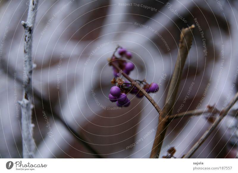 purple in white [Colmar12|12|09] weiß Pflanze Winter kalt Schnee Umwelt violett Dekoration & Verzierung Ast Beeren