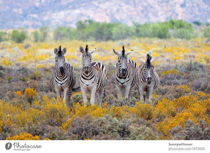 Zebras in Southafrica Umwelt Natur Tier Wildtier Zoo 4 Tiergruppe Herde stehen ästhetisch Ferne gelb grün schwarz weiß Fröhlichkeit Lebensfreude Kraft Tierliebe