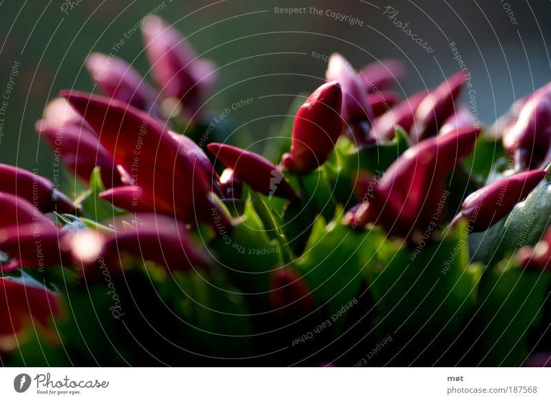 pink heads Natur Blume grün Pflanze rosa Umwelt frisch Kaktus