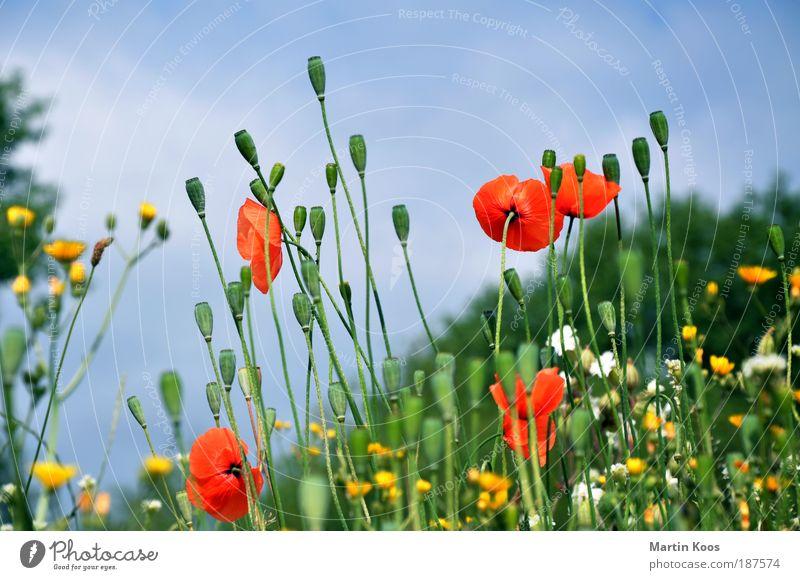 mohnblumenwiese Natur Pflanze Klatschmohn Mohn Mohnkapsel Blume Blüte rot gelb Kapsel Samen ästhetisch schön Farbfoto mehrfarbig Mohnfeld