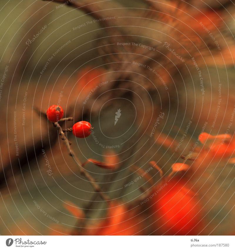 zwei Kullerbeeren Natur schön Pflanze rot Park Landschaft Umwelt Wachstum Sträucher natürlich saftig