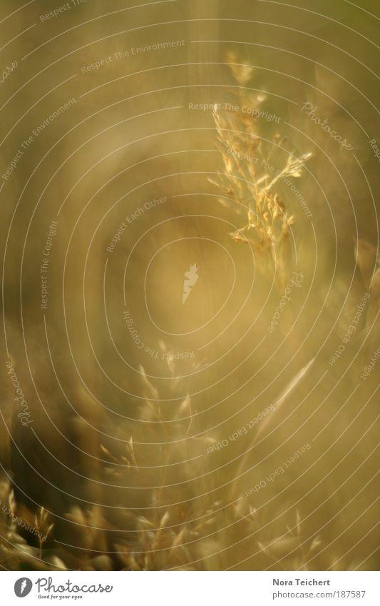 Goldstaub Natur schön Pflanze Sommer Umwelt Landschaft gelb Wiese Herbst Gras Glück träumen Stimmung Zeit Zufriedenheit gold