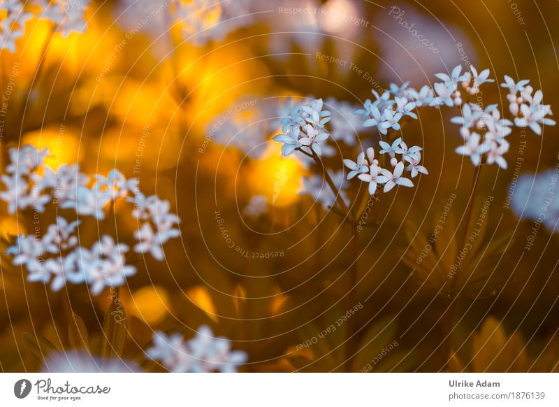 Waldmeister (Galium odoratum) - Blüten Kräuter & Gewürze Design Innenarchitektur Dekoration & Verzierung Natur Pflanze Sonnenaufgang Sonnenuntergang Sonnenlicht