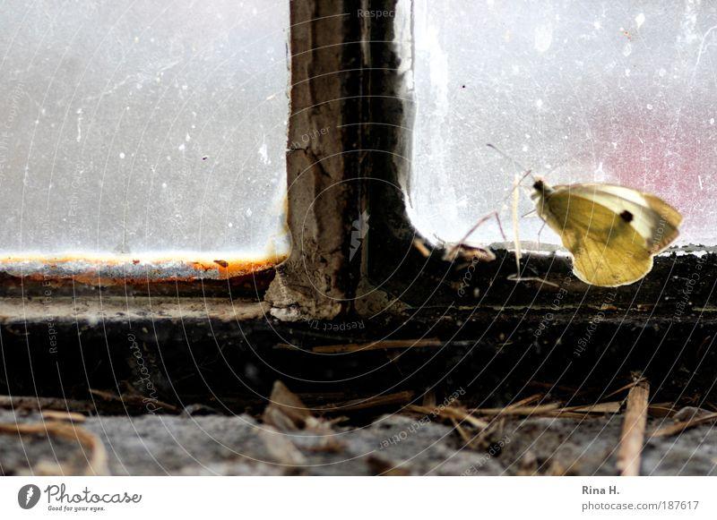 Winterschmetterling am Fenster Einsamkeit kalt gelb Gefühle authentisch sitzen warten Vergänglichkeit Schutz Neugier Hoffnung geheimnisvoll Sehnsucht Glaube